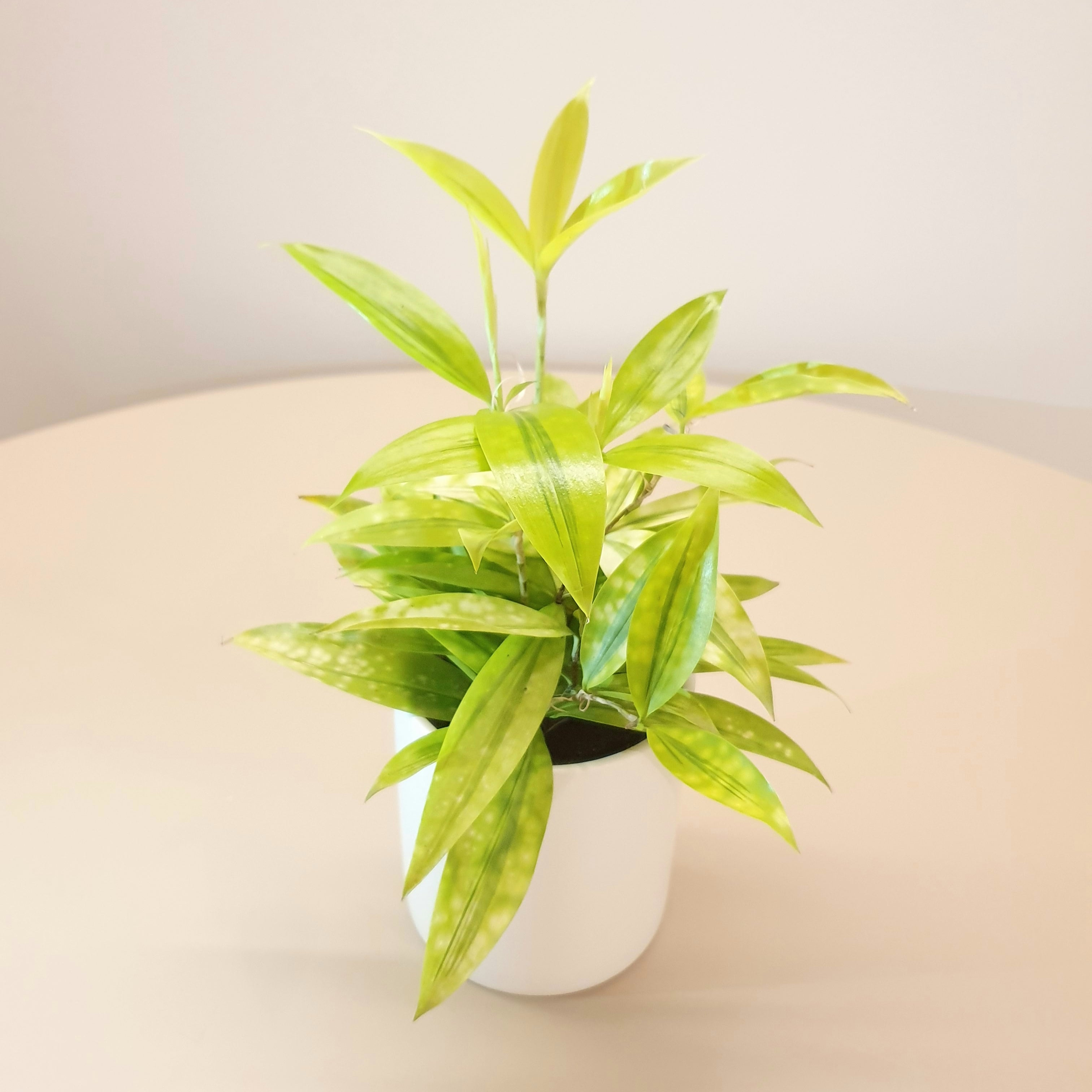 Dracaena Surculosa Aurea (M) with Pot Bundle
