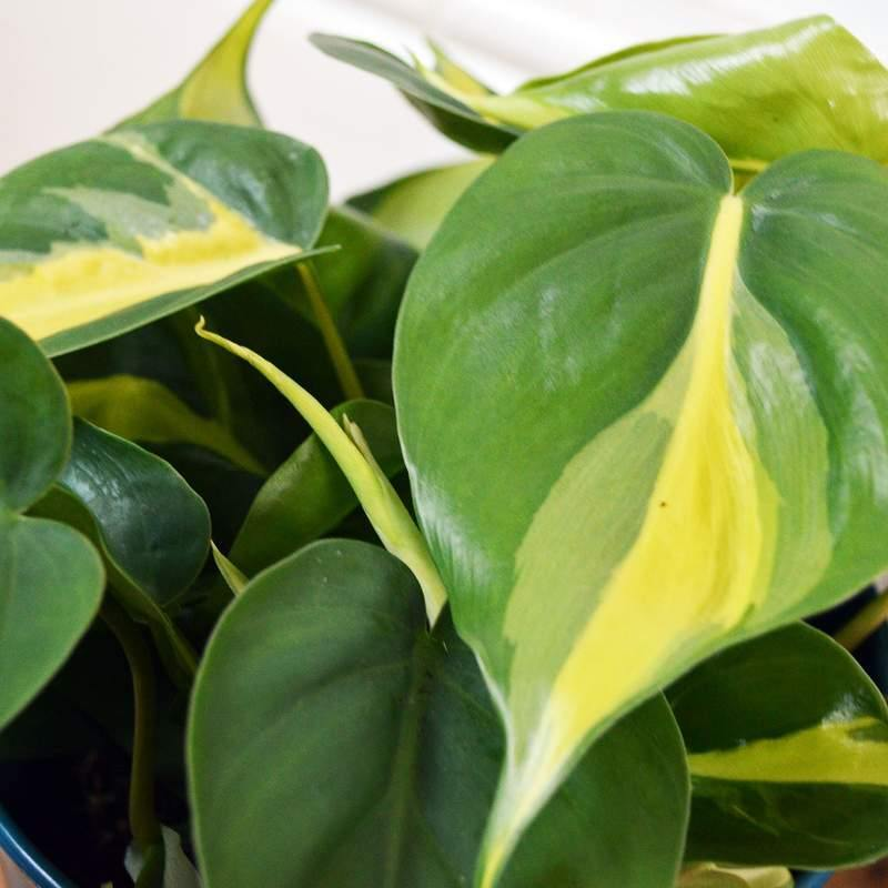 NEW STOCK Philodendron Variegated (Plant-only in various Pafcal sizes) - Midorie Singapore