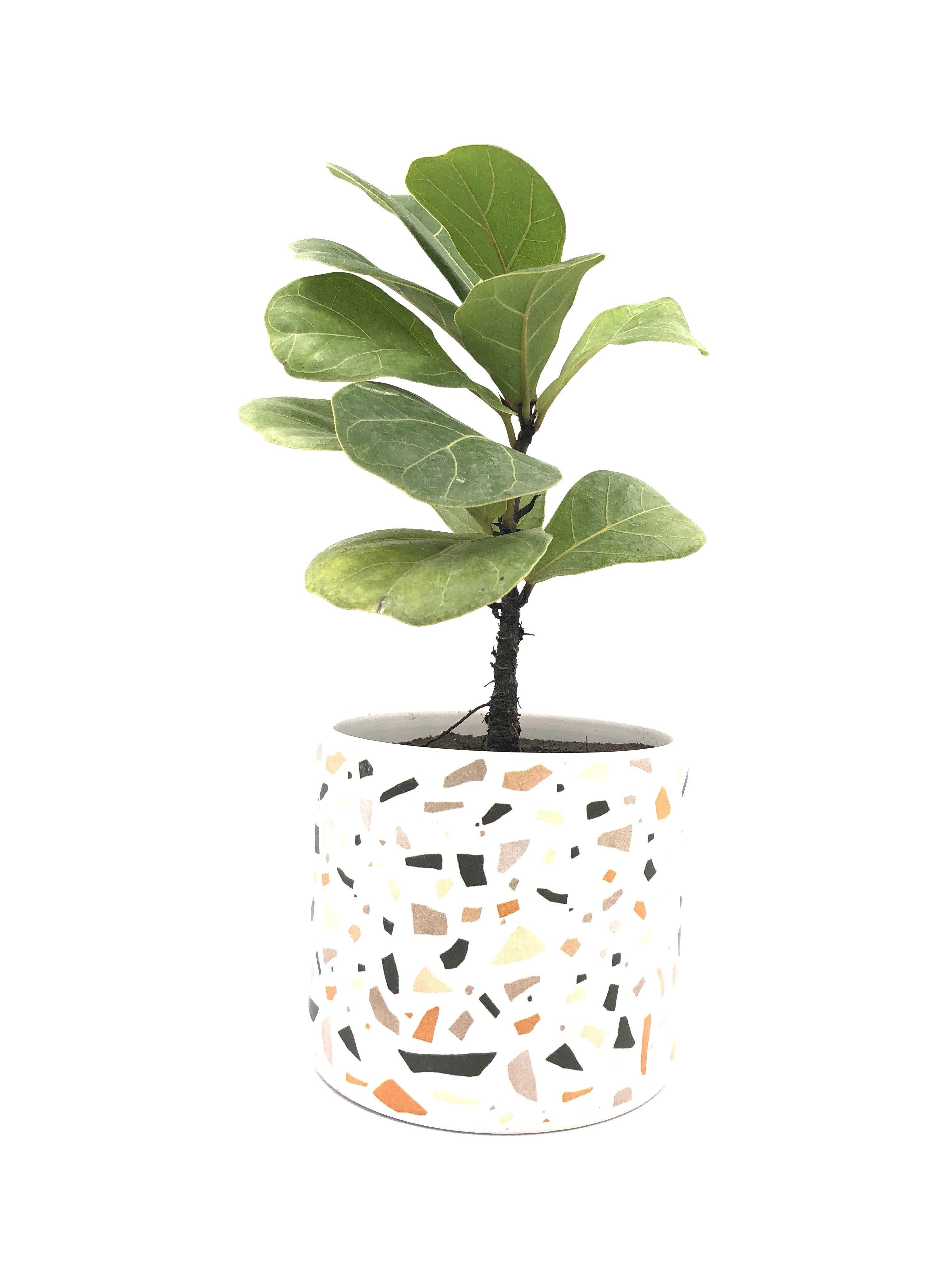 NEW STOCK Ficus Lyrata Bambino (L) Plant with Pot Bundle - Midorie Singapore