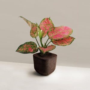 Aglaonema Pink (Plant-only in M Pafcal) - Midorie Singapore