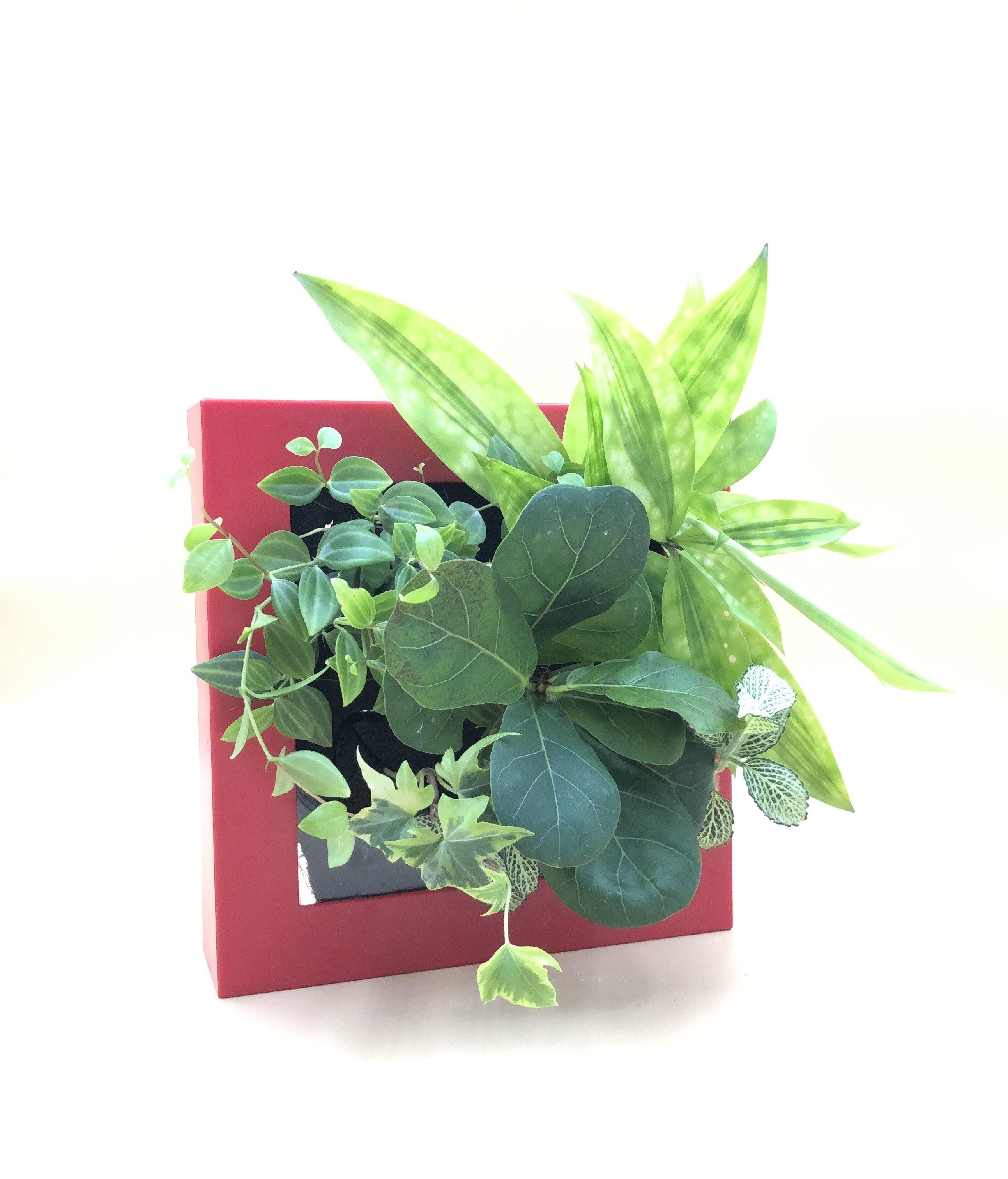 Square Frame • Red 5-Plant (SN: #0379) - Midorie Singapore