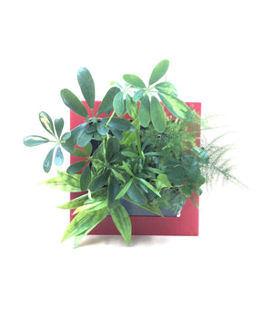 Square Frame • Red 5-Plant (SN: #0369) - Midorie Singapore
