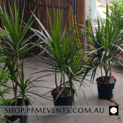 Dragon Tree Plant Hire Launch Event Melbourne Weddings