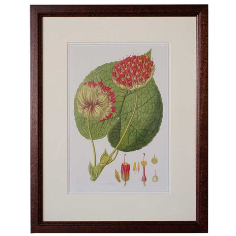 JOHN LINDLEY Hand Painted Engraving, Botanical, Collectanea Botanica