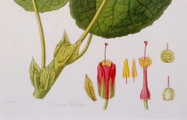 English JOHN LINDLEY Hand Painted Engraving, Botanical, Collectanea Botanica