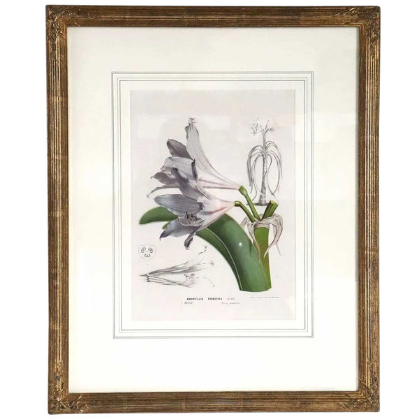 After HORTO VAN HOUTTEANO Offset Lithograph Print, Amaryllis Procera Botanical