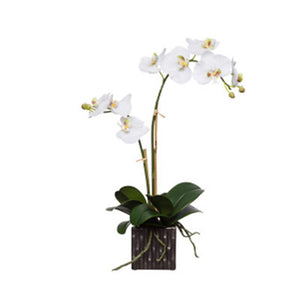 White Silk Double Phalaenopsis in Square Pot