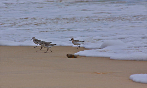 Sandpipers at Lucy V