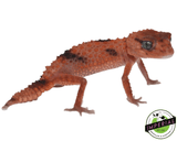 aberrant rough knob tail gecko for sale, buy reptiles online