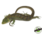 Abronia graminea for sale, buy reptiles online