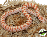 Albino Prairie kingsnake for sale, buy reptiles online