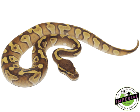 butter enchi ball python for sale, buy reptiles online