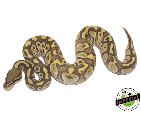 butter ghost ball python for sale, buy reptiles online