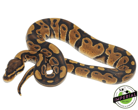 chocolate ball python for sale, buy reptiles online