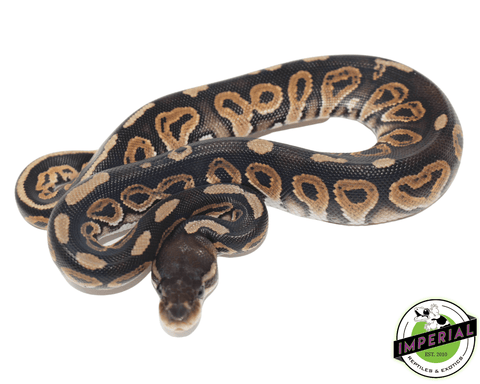 cinnamon ball python for sale, buy reptiles online