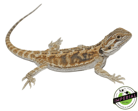 citrus bearded dragon for sale, buy reptiles online
