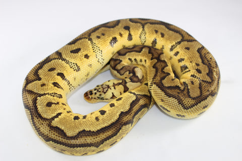 Pastel Clown Ball Python