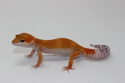 OG Tang x Pacific Green Leopard Gecko Sub Adult
