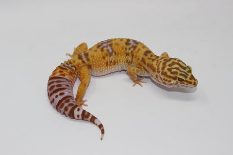 Tremper Albino Giant Leopard Gecko Young Adult  Female