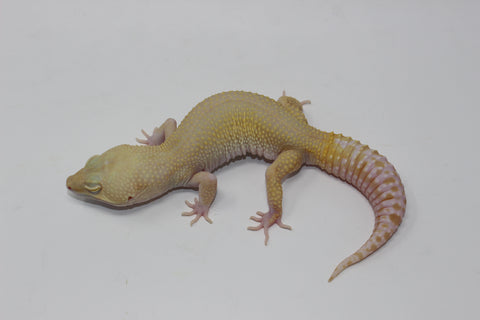 High Contrast Raptor (ALL RED EYE) Leopard Gecko Adult