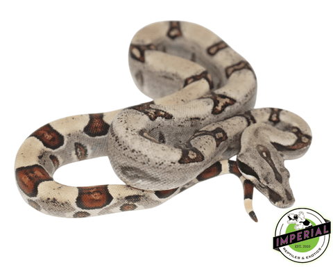 jungle colombian boa constrictor for sale, buy reptiles online