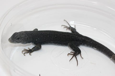 Melanistic Jeweled Lacerta