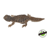 Moroccan Uromastyx for sale, buy reptiles online