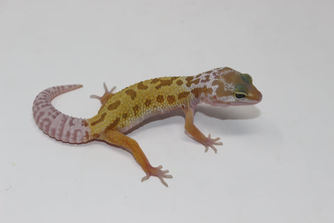 Leucistic/Patternless Leopard Gecko Baby