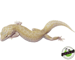 raptor snake eyes leopard gecko for sale, buy reptiles online
