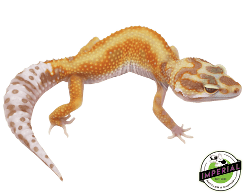 red stripe tremper leopard gecko for sale, buy reptiles online
