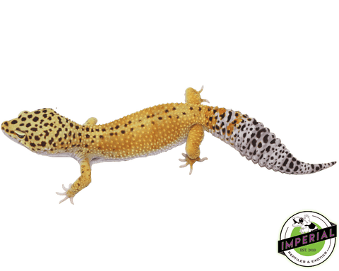 reverse stripe leopard gecko for sale, buy reptiles online