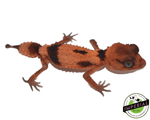 rough knob tail gecko for sale, buy reptiles online