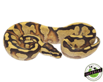 super enchi ball python for sale, buy reptiles online