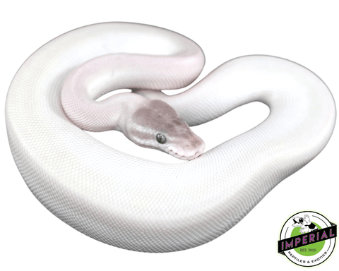 super mojave blue eyed lucy ball python for sale, buy reptiles online