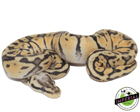 super pastel ball python for sale, buy reptiles online
