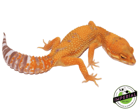 tangerine jungle tremper leopard gecko for sale, buy reptiles online