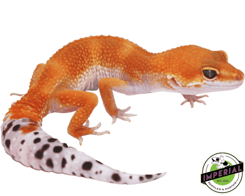 tangerine leopard gecko for sale, buy reptiles online