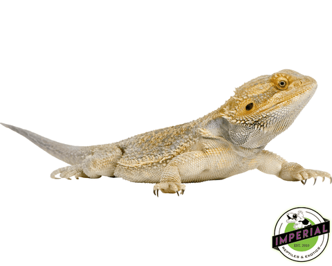 adult bearded dragon for sale, buy reptiles online