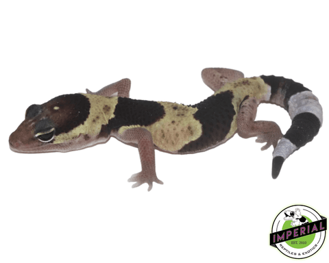 African Fat Tail gecko for sale, buy reptiles online