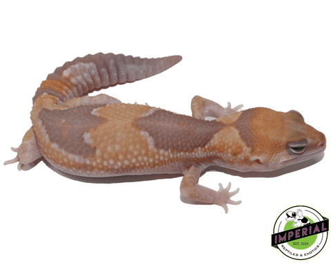 Caramel Zulu African Fat Tail gecko for sale, buy reptiles online