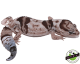 Whiteout Oreo African Fat Tail gecko for sale, buy reptiles online