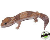 Caramel African Fat Tail gecko for sale, buy reptiles online