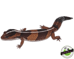 Striped African Fat Tail gecko for sale, buy reptiles online