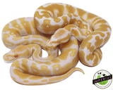 albino ball python for sale, buy reptiles online