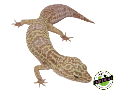 albino leopard gecko for sale, buy reptiles online
