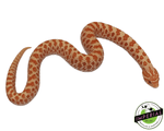 Albino western hognose snake for sale, buy reptiles online