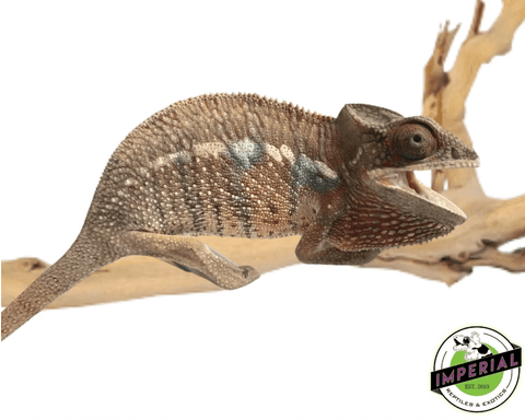 ambilobe panther chameleon for sale, buy reptiles online