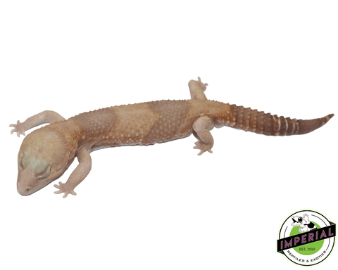 Amel african Fat Tail gecko for sale, buy reptiles online