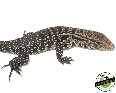 argentine black and white tegu for sale, buy reptiles online