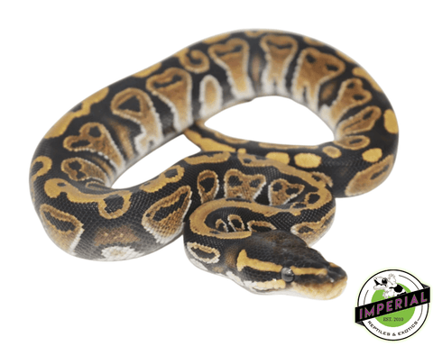 ball python for sale, buy reptiles online